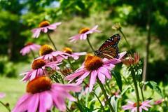 Beautiful park view (i_kaya@rogers.com) Tags: park flowers butterfly photo photography photograph canada ontario toronto highpark trees grass