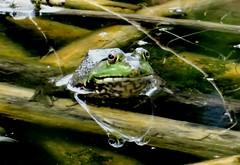 Friday's frog (EcoSnake) Tags: americanbullfrog lithobatescatesbeiana frogs amphibians water wildlife august summer idahofishandgame naturecenter