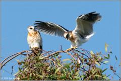 Juve Kite Pair 7278 (maguire33@verizon.net) Tags: elanusleucurus pradoregionalpark whitetailedkite bird birdofprey juvenile kite raptor wildlife