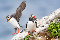 Bring it on home (Osprey-Ian) Tags: atlanticpuffin iceland