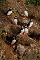Puffinville (Osprey-Ian) Tags: grimseyisland iceland atlanticpuffin