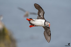 Home delivery puffin style (Osprey-Ian) Tags: grimseyisland iceland atlanticpuffin