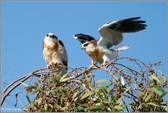 Juve Kite Pair 7318 (maguire33@verizon.net) Tags: elanusleucurus pradoregionalpark whitetailedkite bird birdofprey juvenile kite raptor wildlife