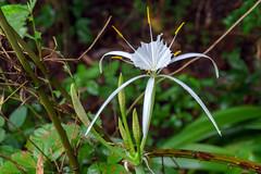 Wild Spider Lily (Richard Melton) Tags: spiderlily wildflower flower summer madison alabama