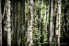 Aspens in Ironton (Scott Sanford Photography) Tags: 6d canon colorado ef24105f4l eos mountains naturalbeauty naturallight nature outdoor rockymountains summer topazlabs aspen roadtrip travel trees trip vacation