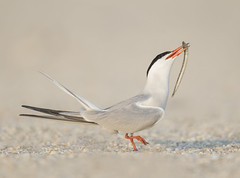 Common Tern  {Explored!  Thank you very much!} (Mawrter) Tags: commontern tern courtship courtshipfeeding offer offering nature wild wildlife bird avian beach canon specanimal explore explored interest interesting view views