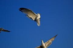 alas (enter SAIDMAN) Tags: cielo sky azul blue wings alas ave bird white nature naturaleza exterior mexico méxico jalisco chapala canon volar fly lago lake