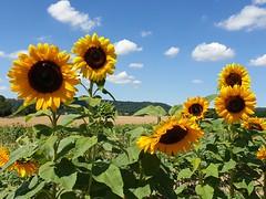 SUMMERTIME 20190729_122639 (hlh 1960) Tags: summer sommer himmel sky wolken cloud blumen flower sonnenblumen kaiserwetter nature natur landschaft landscape ernte harvest getreide farben colour home heimat