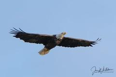 Soaring (jonwhitaker74) Tags: bald eagle bird wildlife alabama