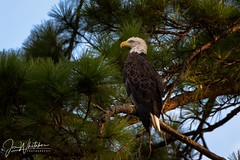 Bathing in golden hour (jonwhitaker74) Tags: bald eagle bird wildlife alabama