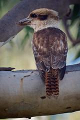 The Kookaburra (D-GaP Photos) Tags: kookaburra dgap bird wild life nature