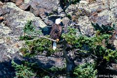 Bald Eagle (Susie Butler) Tags: pnw pacificnorthwest salishsea sanjuanislands seattle baldeagle bird america