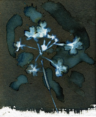 Cyanotype c-3 (Dguyzé) Tags: cyanotype cyano wetcyanotype wetcyano flower sunprint photogram photogramme altprint altprocess