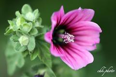 I love these flowers (chk.photo) Tags: nature naturewatcher outdoor natur makro naturemasterclass light ngc macro flower austria blume österreich flickr purple
