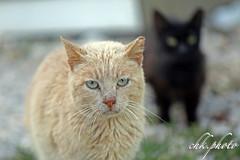 I'm angry.... (chk.photo) Tags: nature naturewatcher outdoor animal natur naturemasterclass ngc cat katze kroatien croatia flickrtravellaward flickr