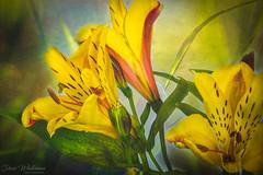 Saturday Still Life (Dave Whiteman - AU) Tags: stilllife plant lensbabyvelvet56 studio closeup flower lightbox nature alstroemeria peruvianlily things flowers floral