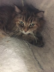 Hanna - 6 year old spayed female