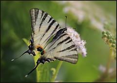 Iphiclides podalirius, Scarce swallowtail, Sail swallowtail, Pear-tree swallowtail, Prugasto jedarce, 7158 Fa, 1.VI.2019. (Morton1905) Tags: iphiclidespodalirius scarceswallowtail sailswallowtail peartreeswallowtail prugastojedarce 7158fa