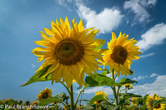 Sunflowers (pjbranchflower) Tags: yellow sunflowers gower rhossili wales summer national trust sony a7rii 24105