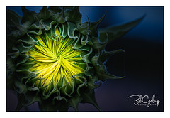 The dark side of yellow (Bob Geilings) Tags: macro yellow closeup blue mood flora nature sunflower bokeh background summer shadow dark colors green plant vegetation plantlife