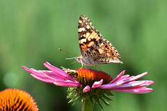 Room for two (James_D_Images) Tags: butteryfly bee echinacea flower pollinators paintedladybutterfly bokeh garden wings pattern antennae