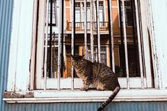 Chile19_31 (1 von 1) (southtraveler) Tags: cat cats katze katzen tiere animals valparaiso chile window street photography streetphotography
