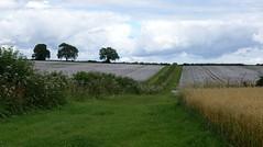 barley and white poppies - explored (quietpurplehaze07) Tags: smileonsaturday meadowsandfields poppies barley whitepoppies landscape