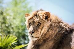 Le Roi des animaux (vostok 91) Tags: vostok91 canon eos40d lion zooparc beauval ef70300mmf456isusm