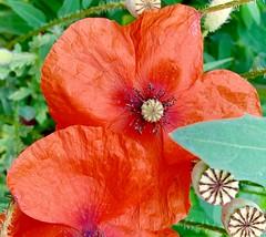 klaproos (delnaet) Tags: klaproos poppies coquelicots amapolas roja red rood rouge fleur bloem flower blume flor