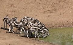 Zebra (Pixi2011) Tags: zebra krugernationalpark southafrica africa wildlifeafrica wildlife animals wildanimals nature