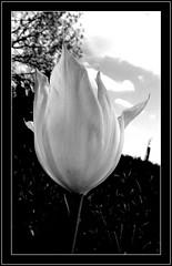 Biały tulipan. (andrzejskałuba) Tags: poland polska pieszyce dolnyśląsk silesia sudety europe plant roślina kwiat kwiaty flower flora floral flowers macro monochrome natura nature natural natureshot natureworld niebo nikoncoolpixb500 beautiful black biały beauty white bw blackwhite garden ogród tulip tulipan czarny clouds chmury sky trees tree drzewa drzewo 100v10f 1000v40f 1500v60f