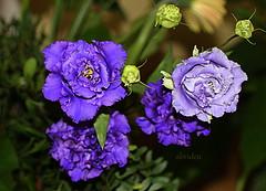 Lisianthus (abrideu) Tags: abrideu canoneos100d lisianthus macro flowers depthoffield bright bokeh bouquet paars ngc npc