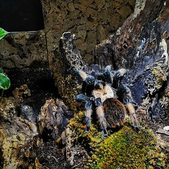 Tarantula (Mike Bonitz) Tags: deutschland germany schleswigholstein groswessek weisenhäuserstrand abenteuerdschungelland terrarium tiere animals spinne spider instagram huaweip20
