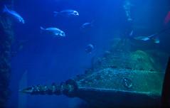 Begegnung / Encounter (schreibtnix on'n off) Tags: deutschland germany königswinter aquarium sealife fische fish julesverne nautilus olympuse5 schreibtnix