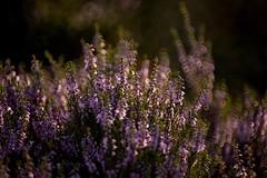 Heather (Tony Tooth) Tags: nikon d600 tamron 500mm mirrorlens reflex catadioptric heather pink purple gunhill evening swythamley staffs staffordshire staffordshiremoorlands flower wildflower bokeh