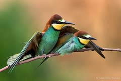 European Bee-eater (Merops apiaster) (Christos Sallas Photography) Tags: birds beeeater wildlife nature nikon tamron 150600mm d500 nikond500 tamron150600mmg2