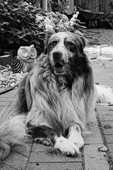 Owl (unbunt.me) Tags: aussie blackandwhite fujifilm fujix100f australianshepherd hoffnungs hund blackwhite bw dog fuji acros