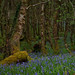 Moss Covered Trees and Bluebells