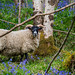 Sheep and Bluebells