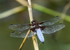 Broad Bodied Chaser N0105 Fishwick Nature Reserve D210bob _9692 (D210bob) Tags: broad bodied chaser n0105 fishwick nature reserve d210bob 9692