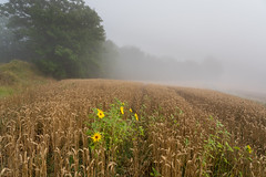 sunflowers (canalesjacinto58) Tags: paisaje landscape fog wheat cereal natural sony sonya7iii ngc