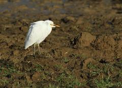 Héron garde-boeufs - Bubulcus ibis (Yann Brilland) Tags: hérongardeboeufs bubulcusibis animal avifaune oiseaux aves héron ardéidés