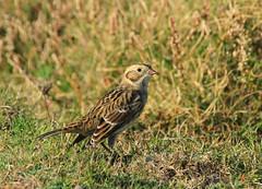 Bruant lapon - Calcarius lapponicus (Yann Brilland) Tags: bruantlapon calcariuslapponicus oiseaux avifaune aves animal passereau embérizidés