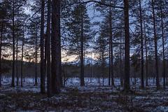 (Idiografie) Tags: zweiaufnemrad schweden winter wald blau zwielicht twilight darkness dark bäume trees dusk abenddämmerung nikon d7200 nikkor 35mm 18 dx