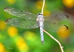 great blue skimmer9 (Patricia Pierce) Tags: greatblueskimmer dragonfly odonata alabamawildlife alabamabackyardwildlife alabamagardens livenature mobilealabama nationalwildlifefederation thenatureconservancy backyardwildlife alabama