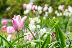 Tulips (Maria Eklind) Tags: garden spring skåne malmö slottsträdgården flower sweden blommor nature skånelän sverige