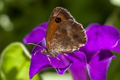 Amaryllis (clamar18) Tags: butterffly amaryllis insecte flower petunia nature jardin macro papillon mérysurcher france vierzon