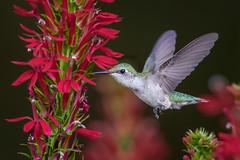 Hummingbird (Jerry_a) Tags: birds birdinflight hummingbirds rubythroatedhummingbird backyardbirds canon600mmf4isusmii wildlifecanon600mmf4 canon1dxmarkii