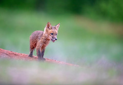 Youthful... (DTT67) Tags: kit foxkit redfox babyfox fox 14xtciii 500mmii 1dxmkii canon mammal animal nature wildlife