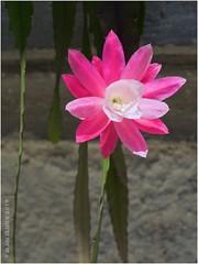 Épiphyllum